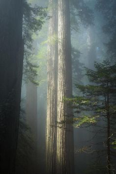 First Light in the California Redwoods Image by Scotty Perkins