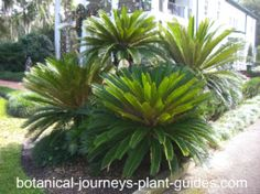 landscaping with palms - Google Search