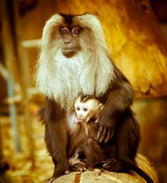 Lion Tailed Macaque and Baby