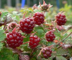 Arctic bramble / Mesimarja, Finland. Rubus arcticus, the Arctic bramble or Arctic raspberry