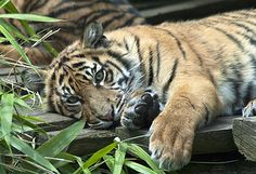 Sumatran Tiger Cub | Flickr - Photo Sharing!