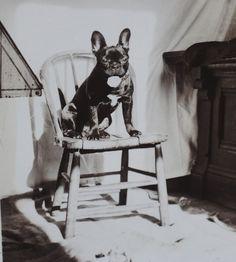 1930's Photo Boston Terrier Bully French Bulldog