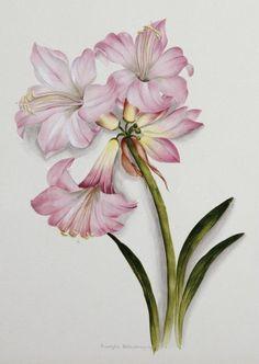 Amaryllis belladonna (c1910) by Ethel May Dixie (1876-1973).