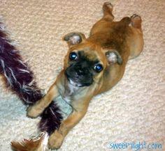 Boston Terrier / Pug puppy - a Bugg!  <3