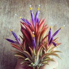 Secret Tips to Happy Air Plants: How to water air plants when they are in bloom? (rootsinrust.com)