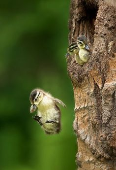 little wood ducks leaping out of their tree nest ~ absolutely amazing BEAUTIFUL-BIRDS Love Birds, Beautiful Birds, Animals Beautiful, Beautiful Images, Baby Animals, Cute Animals, Wild Animals, Photo Animaliere, Mundo Animal