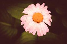 Margareta - Daisy Flower by Catalin Petre - Photo 307916499 / Daisy, Landscape, Flowers, Plants, Scenery, Margarita Flower, Daisies, Plant, Royal Icing Flowers