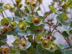 Spurge 'Blackbird' (Euphorbia) May 2010