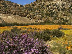 Namaqualand, Namíbia - No início da primavera, essa região, que é árida o ano inteiro, fica coberta por um caleidoscópio de flores. O jardim não parece, mas é todo natural