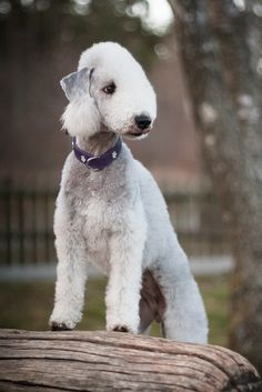 All sizes | Bedlington Terrier | Flickr - Photo Sharing!