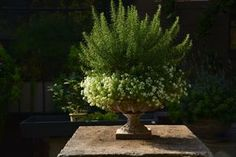Rosemary plant surrounded by cascading white flowers. Very nice for a summer planter.