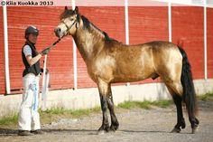 Connemara - stallion Ohana Domhnall Dash