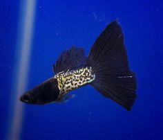 Metal Snakeskin Black Tail Guppy.  Does anyone know if this is a real strain, or just an individual sport?