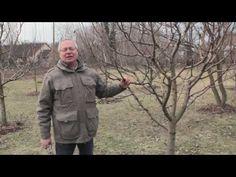 TIPP: A gyorsan, felfelé növő gyümölcsfa metszése - YouTube Youtube, Plants, Gardening, Wine, Decor, Tips, Decoration, Lawn And Garden, Plant