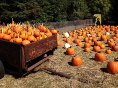 pumpkins are everywhere at Clarks Farm in Stafford VA