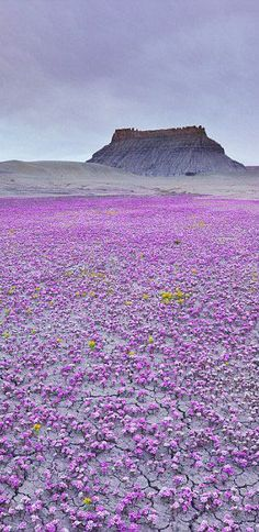 Mojave Desert. Wild and free: A carpet of purple Scorpion Weed in an isolated corner of the Mojave desert in Utah