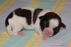 5ème née des femelles de cette jolie portée de chiots shih-tzus nés le 21 septembre 2013. Photos prises le 27 septembre. Crédit photo : Bernadette Capparos