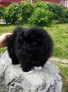 Pekingese Puppies, Teacup Puppies, Pomeranians, Cute Puppies, Cute Dogs, Cute Funny Animals, Cute Baby Animals, Funny Dogs, Fu Dog