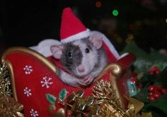 So missing my heart rattie Lilly. Over the bridge 3 years ago but never forgotten. She was so good at posing for holiday photos