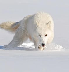 "Wildlife Planet (@wildlifeplanet) on Instagram: ""Arctic Wolf Photo by ©Mike Lentz #WildlifePlanet"""