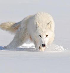 "Wildlife Planet (@wildlifeplanet) on Instagram: ""Arctic Wolf Photo by ©Mike Lentz #WildlifePlanet"""