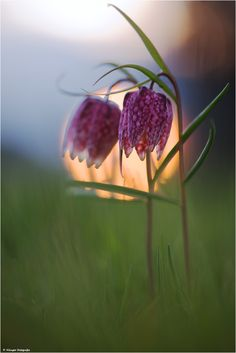 Fritillaria meleagris 2012 by ~Aphantopus Photography / Animals, Plants & Nature / Flowers, Trees & Plants©2012-2013 ~Aphantopus