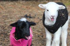 lambsinsweater.jpg (800×534)