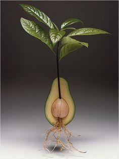 L' avocado  non è un frutto molto usato da noi in Italia: non è dolce e non lo si mangia come dessert, quindi lo si aggiunge al massimo a...