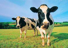 laat wat vee rond lopen zorgt voor meer geld.