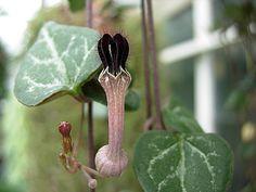 Corações-emaranhados: Ceropegia linearis subsp. woodii. Origem: África do Sul.