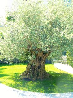 200 year old olive tree