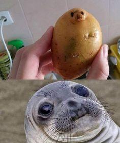 patate-phoque
