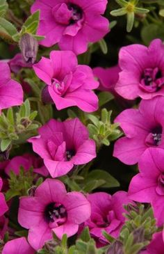 Petunia 'Soleil Purple'