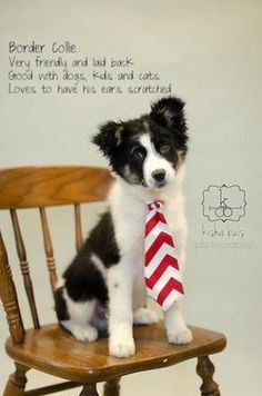 Laid back? Obviously the person who made this graphic has never owned a Border Collie! Cute pup, though!