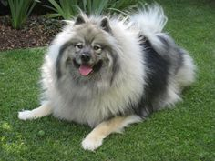 Keeshond : I had 16 years of smiles with mine ❤️