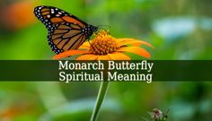 Monarch Butterfly Spiritual Meaning – these beautiful colorful creatures have numerous meanings, a sign from your angels, spirit guides and the diseased.