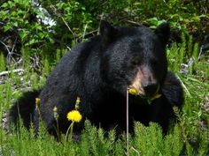 Black bears in Central Florida? Learn more here!