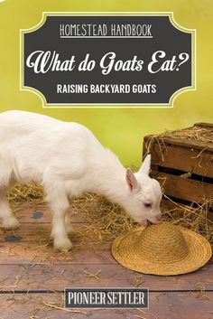 The Best Food For Goats | How To Raise Animals by Pioneer Settler at http://pioneersettler.com/what-do-goats-eat-raising-goats/