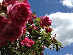 Roses by the front door, clouds