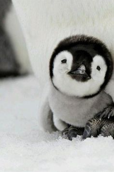 Baby Penguin Goodness | See More Pictures | #SeeMorePictures