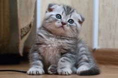 Scottish Fold little cat by Vladimir_arsh, via Flickr
