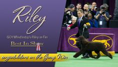 http://www.bestinshowdaily.com/bis-gch-whistlestops-riley-on-fire/