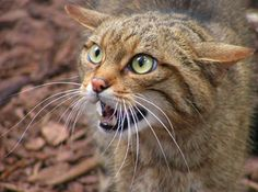Scottish wild cats are one of the most threatoned mammals in the UK.
