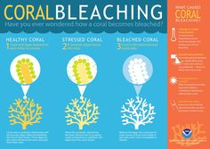 The process of coral bleaching is explained in this infographic by NOAA.
