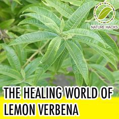 Will put this in the lemon category: Healing Properties of Lemon Verbena