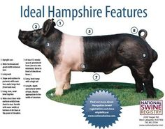 4 H Pig Diagram S13 Sr20det Redtop Wiring Swine Download Ideal Hampshire Pdf