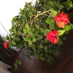 Sparmannia africana-szobahárs. 🌺🌺🌺 Kezd virágba borulni. 🌺🌺🌺 #flowers #flowerpic #morningmoment #morningmoments #sparmanniaafricana #plant #plantlove #lovley #lovleyday #gardening #roomgarden #kisflanc #kuklaedina #mik #mutimitlatsz