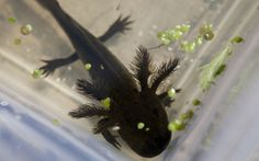 A young axolotl swims inside a tank at Mexico's National Autonomous University (UNAM) in the Xochimilco network of lakes and canals in Mexic...