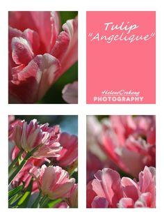 """Tulip """"Angelique"""""""