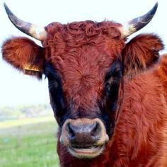 dexter cows